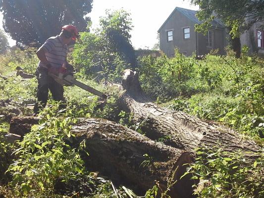 A fallen walnut tree